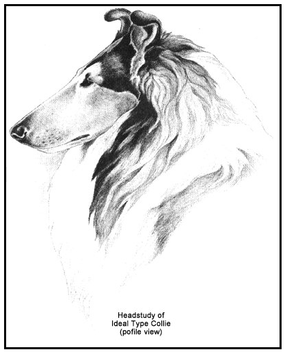 Collie ideal head