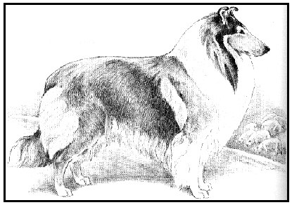 ideal male Collie side view
